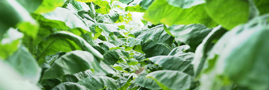 Montecristo tobak
