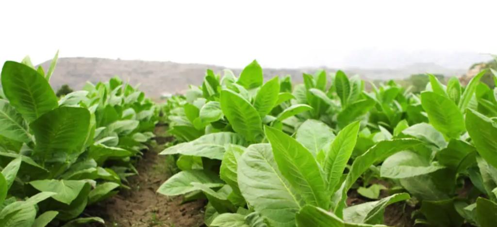tobaksplantor